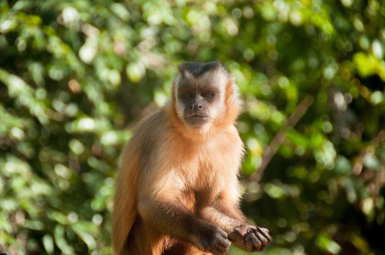 shutterstock_342879290 Small monkey in Bonito, Pantanal, Brazil