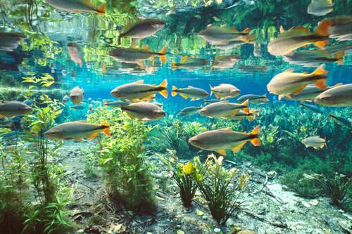 CrisvalTur - Passeio Aquário Natural Flutuação entre peixes Bonito MS